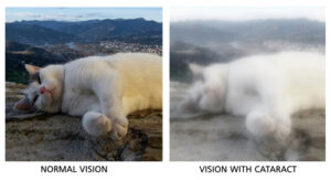 normal picture of cat vs blurry picture of cat showing effects of cataract